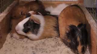Все О Домашних Животных: Веселая Семейка, Морские Свинки