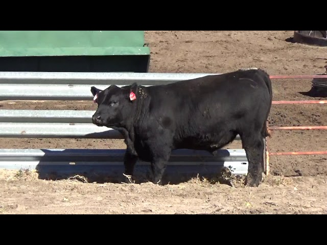 Connealy Angus Lot 45