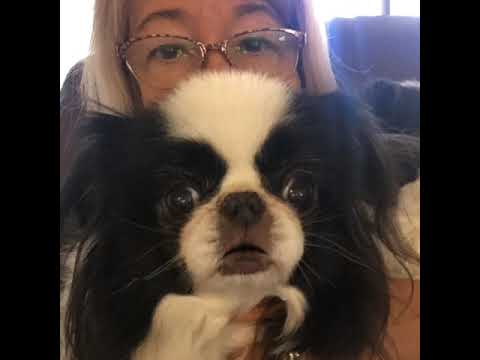 Japanese Chin dog and social distancing