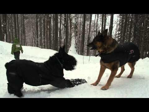 German Shepherd and Giant Schnauzer and fools in deep snow