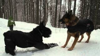 German Shepherd And Giant Schnauzer And Fools In Deep Snow