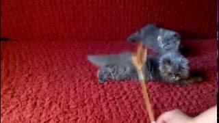 Котята скоттиш страйт играют. Забавные малыши.