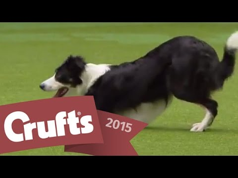 Heelwork to Music - Freestyle International Competition | Crufts 2015