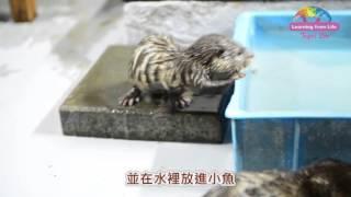 小爪水獺寶寶活潑好動 媽咪很忙但吃飯想獨處--Small-Clawed Otter Pups Swim Lessons