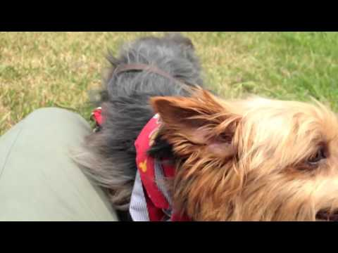 Nicky - Handsome Yorkie / Silky Terrier NEEDS HOME