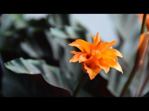 Пересадка подаренных растений.  Калатея шафранная.