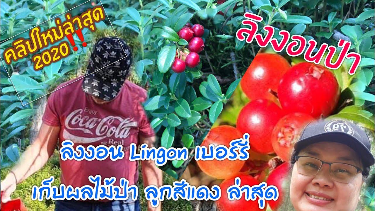 เก็บผลไม้ป่า Lingon (ลิงงอน เบอร์รี่) บลูเบอร์รี่  ประเทศสวีเดน ล่าสุด‼️| Yula Sweden