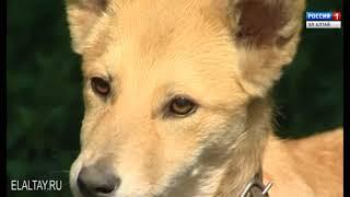 В Горно-Алтайске проводится вакцинация  животных от бешенства