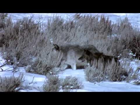 Naturfilm - Den svarta vargen