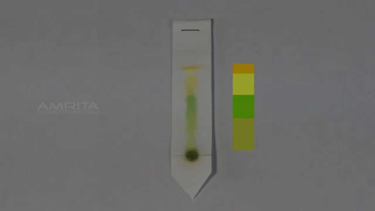 paper chromatography of photosynthetic pigments