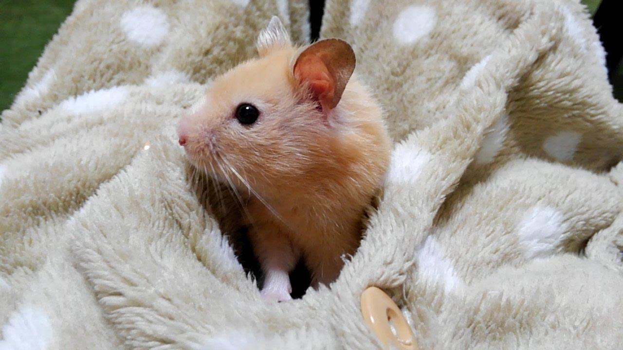 お散歩ダッシュが笑える!おもしろ可愛いハムスターThe hamster which prepares stroll sprint