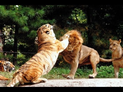 Siberian Tiger vs African Lion - YouTube
