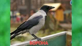 Мультик Презентация птиц и их пение