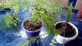 Папоротники - комнатные растения