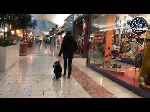 5 Month Old Portuguese Water Dog, Socrates | Best Dog Training | Northern Virginia Dog Trainers