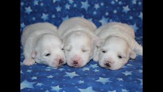 Coton Puppies For Sale - Foxy 11/12/19