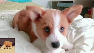 FUNNIEST CUTEST ANIMALS 2019 | Corgi dog fight & fail reaction compilation #0421 | TRY NOT TO LAUGH