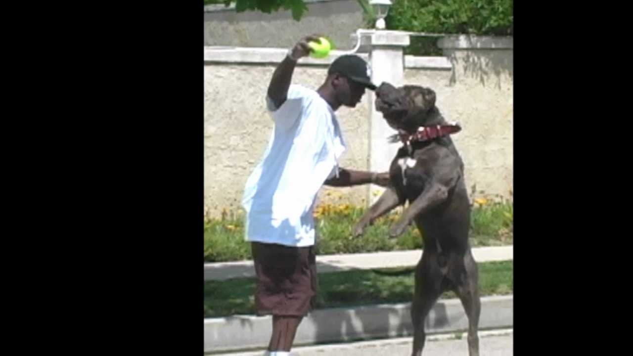 Pitbull Videos | Pit bull puppy Movies