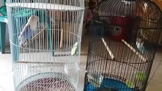 LOVEBIRD PASVIO NGEKEK PANJANG