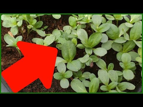 Как вырастить цинии из семян в домашних условиях на рассаду
