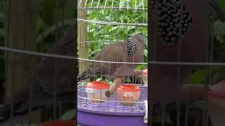 chim cu gáy cuckoo bird