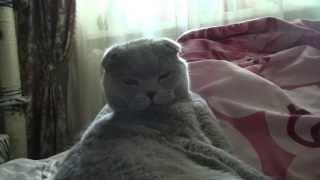 Шотланский Вислоухий кот Эльф 1.5 года