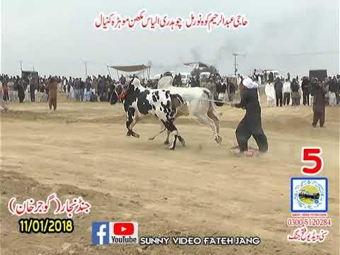Bul Race In Pakistan Sunny Video Fateh Jang 11 01 2019 NO5