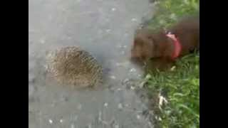 Ежик и щенок. Hedgehog and Puppy