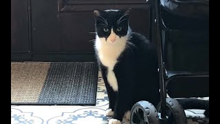 Tuxedo cat Rascal and Collie puppy Lassie settle into a sibling relationship