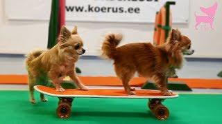 Cute Chihuahua Dogs Skateboard Trick