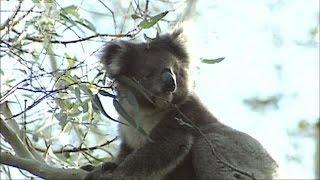 オーストラリア南東部で、コアラが繁殖しすぎたとして約700匹が極秘で殺...