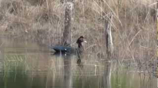 Pato selvagem,  Cairina Moschata, Pato do mato,  Muscovy Duck