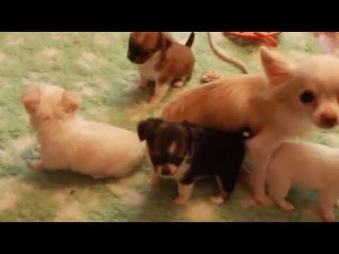 Собака чихуахуа в видео (собачий рэп от чихуахуа Софи)