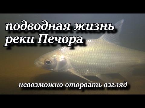 подводная жизнь реки Печора невозможно оторвать взгляд