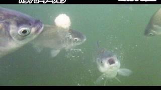 バラケ餌の入れ始めからの様子をありのままに。 この動画はヘラブナ釣り...