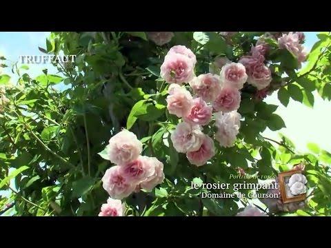 Comment tailler un rosier grimpant jardinerie truff - Comment tailler un rosier grimpant ...