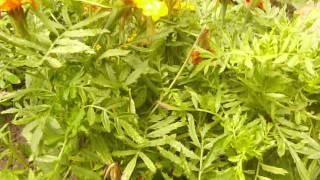 http://www.mathstrength.com- Vazdoage-(Craite )-Floare medicinala -Farmacia naturii