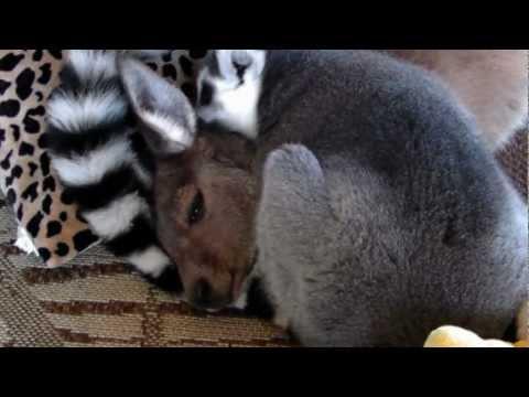 True Love.. Kangaroo and Lemur are BEST BUDDIES!