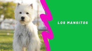El Westie, mejor dicho West Highland White Terrier