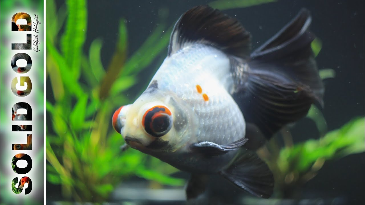 Relaxing goldfish tank 10 minutes of goldfish youtube for Solid gold fish