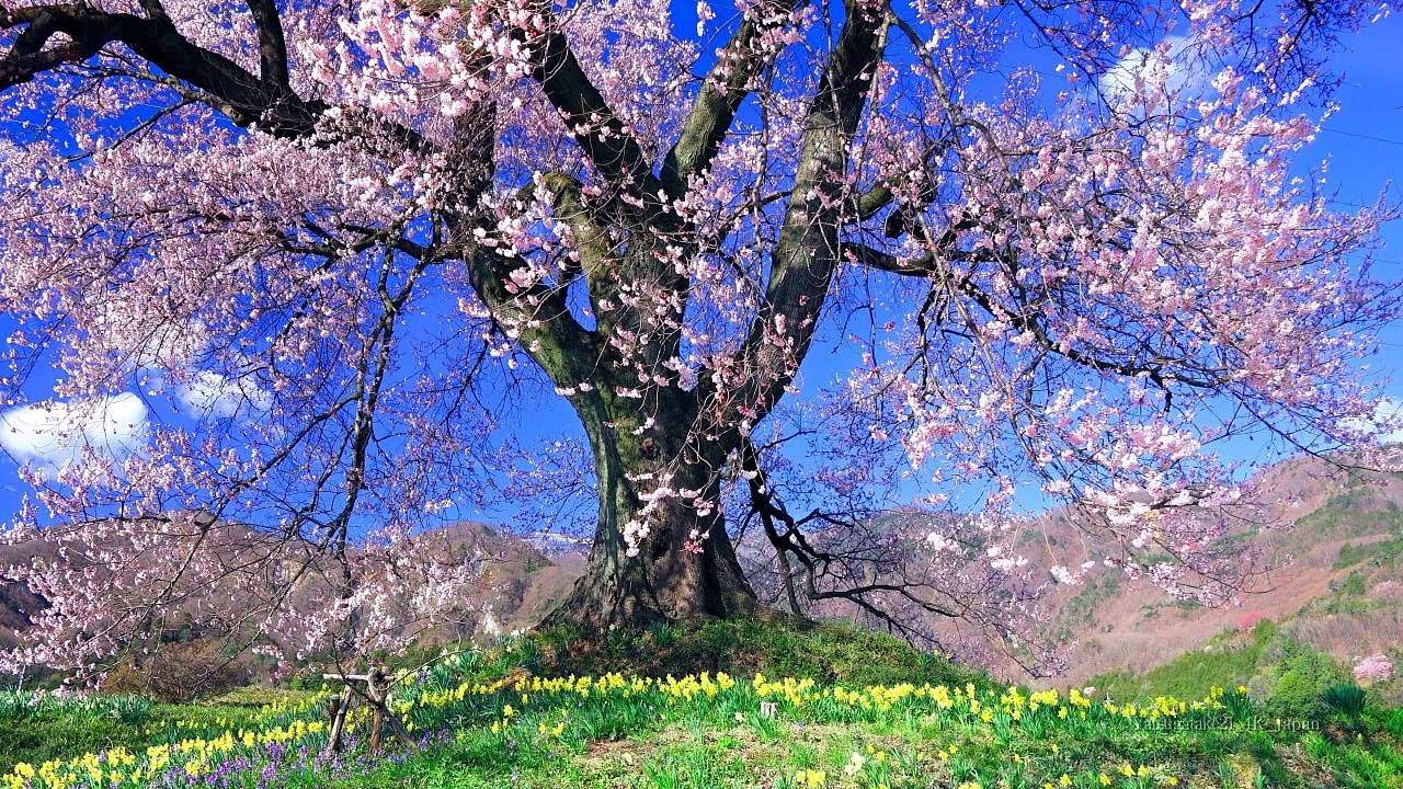 Spring in Japan Mt.Yatsugatake Cherry Blossoms 4K 1HR Ambient Nature Relaxation 日本の春 八ヶ岳 桜 4K映像 1時間