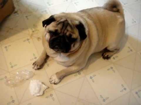 Guilty Pugs!!!!!