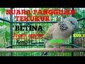 Suara Panggilan Burung Tekukur Betina Kuk  Gacor  Mp3 - Mp4 Download