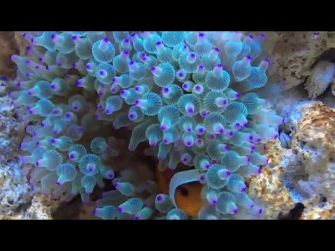 Clownfish Hosting Green Bubble Tip Anemone