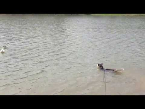Siberian Husky Swimming after Ducks