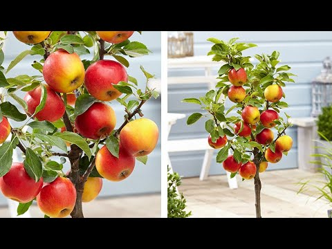 How to Plant Dwarf Patio Apple Trees: Easy Fruit Growing Guide