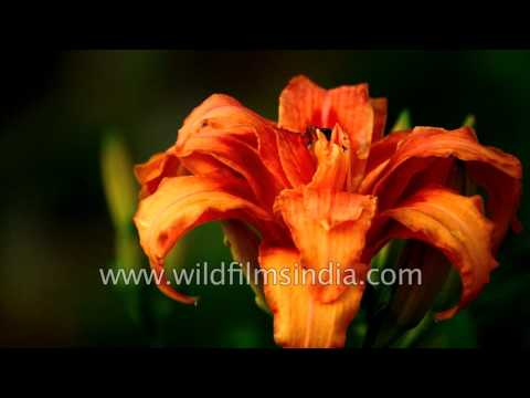 Horse Chestnut flowers in the Himalaya while Day Lilies bloom in the garden