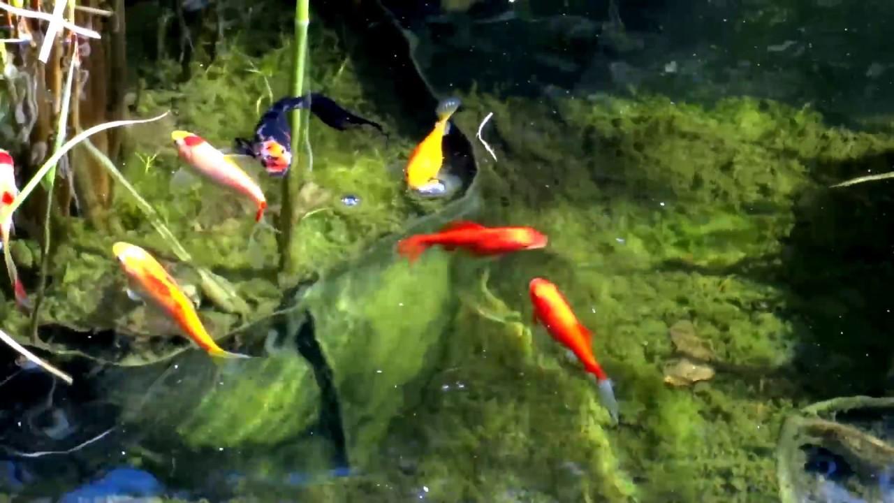 Futterung Meiner Goldfische Feeding My Goldfishes In Spring 2017