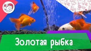 Золотая рыбка. Особенности. Уход.