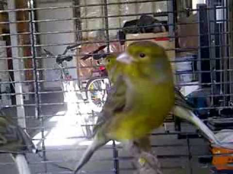 2013 Spanish Timbrados Canary Songster Singing Nice Note!!